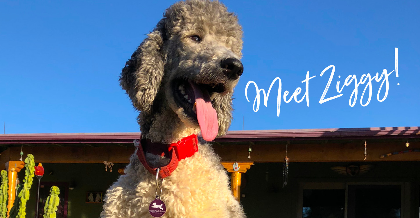 Rescue Pup_Poodle outdoors